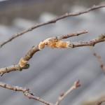 桜の木-1